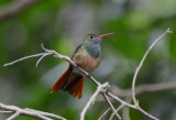 Buff-bellied Hummingbird  0412-3j  Santa Ana NWR,  TX