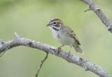Lark Sparrow  0412-1j  Bandera County, TX