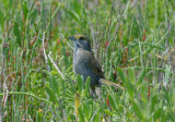 Seaside Sparrow  0412-2j  Aransas NWR, TX