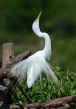 Great Egret  0412-4j  High Island, TX