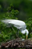 Great Egret  0412-8j  High Island, TX