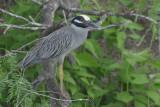 Yellow-crowned Night Heron  0412-3j  Estero Llano, TX
