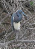 Tricolored Heron  0412-1j  Estero Llano, TX