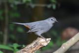 Gray Catbird  0412-1j  High Island, TX