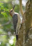 Golden-fronted Woodpecker  0412-2j  Sabal Palms,  TX