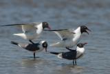 Laughing Gull  0412-2j  Bolivar Flats, TX