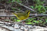 Kentucky Warbler  0412-2j  Galveston Island, TX