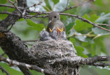 Western Wood Pewee Nest 0612-7j  Oak Creek