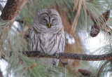 Barred Owl 0108-4j  Terrace Heights