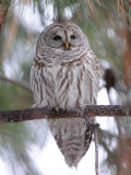 Barred Owl 0108-5j  Terrace Heights