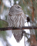 Barred Owl 0108-6j  Terrace Heights