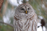 Barred Owl 0108-11j  Terrace Heights