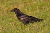 Raven on the grass