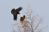 Raven encouraging bald eagle to leave