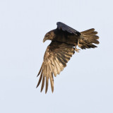 Raven in flight, one wing down and lit by sun