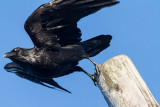Raven leaping off pole into flight 2012 May 9th
