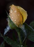 The Bedford Rose Garden