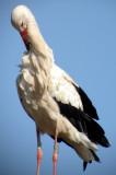380 Unawihr - Digiscopie de cigognes