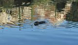 Rat musqué - MK3_2031 DxO.jpg