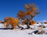 White Sands   Cottonwoods