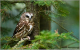 Saw-Whet Owl    (captive)
