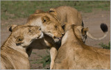 3 Lions in Close