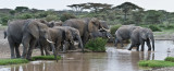 Elephants out for a Drink pano (Extra Large file)