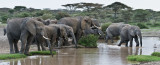 Elephants out for a Drink pano