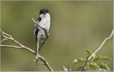 African Long-tailed Shrike