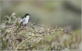 African Common Fiscal  Shrike