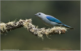 Gray-blue Tanager