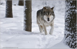 Wolf in some Snow   (captive)