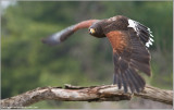 Harris's Hawk in Flight   (captive)