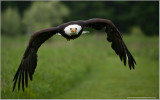 Bald Eagle in Flight    (captive)
