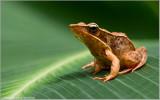 Brilliant Forest Frog    ( Rana warszewitschii )