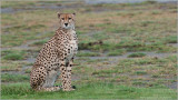 Tanzania Cheetah