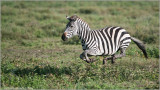 Zebra on the Run