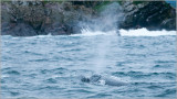 Humpback Whale Spray