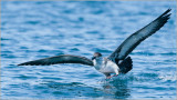 Greater Shearwater on the Run