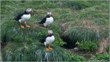 Puffins of Newfoundland