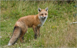 Newfoundland Red Fox
