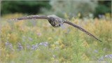 Great Horned Owl in Flight (Captive)