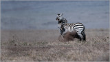 Zebra in Battle