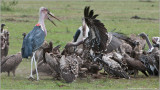 Vultures and Marabou Storks