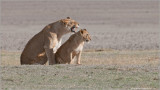 Lions in the Ngorogoro Crater