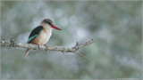 Brown-hooded Kingfisher in Tanzania, Africa