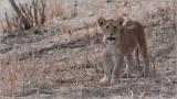 Lion Cub in Tanzania