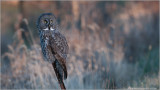 Great Grey Owl   (wild bird)