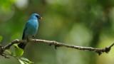 Verditer Flycatcher - India