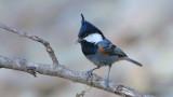 Spot-winged tit - India